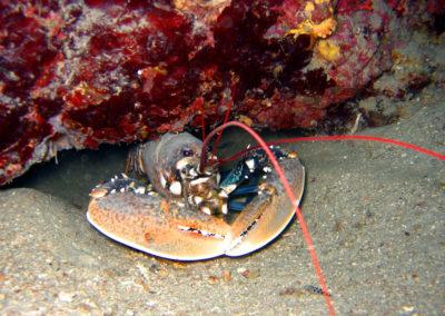 lobster-tauchen-steilwand-dive-center-krk