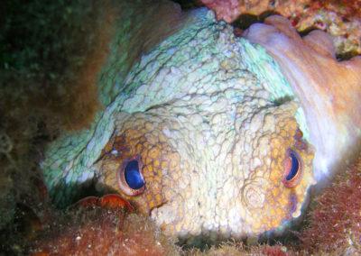 oktopus-selzine-tauchen-dive-center-krk